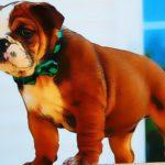 Bulldog Puppy Puzzle